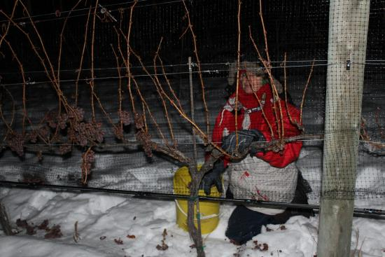 West Kelowna, Canada: Kalala Icewine Picking