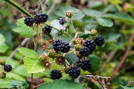 Olympic Suites Inn: Blackberries in August