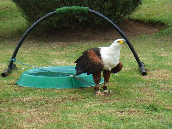 uKhahlamba-Drakensberg Park, Sudafrica: Territorial Fish Eagle