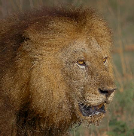 Khakiweed Photographic Safaris: male lion Kruger
