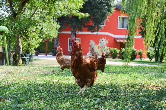 Agriturismo Ca' La Pergola: Le nostre galline
