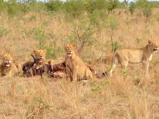 Singita Boulders Lodge: 2 of the big five - lions
