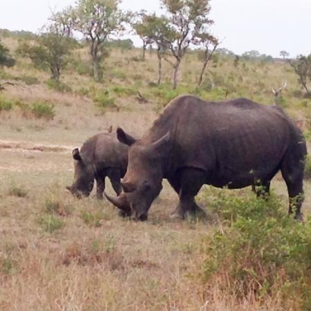 Singita Boulders Lodge: 4 of the big five - Rhino