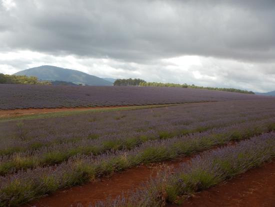 Tasmanië, Australië: Lavender Fields