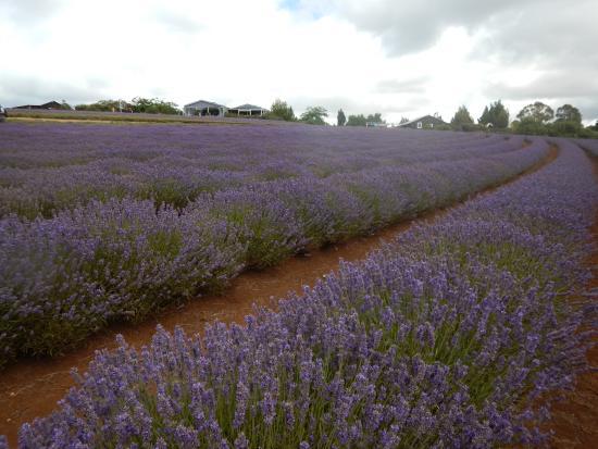 Tasmanië, Australië: 120 Acre Lavender Field
