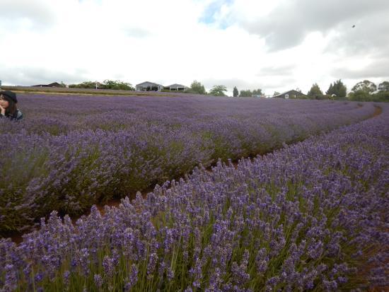 Tasmanië, Australië: Lavender
