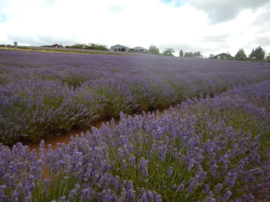 Tasmanië, Australië: More Lavender