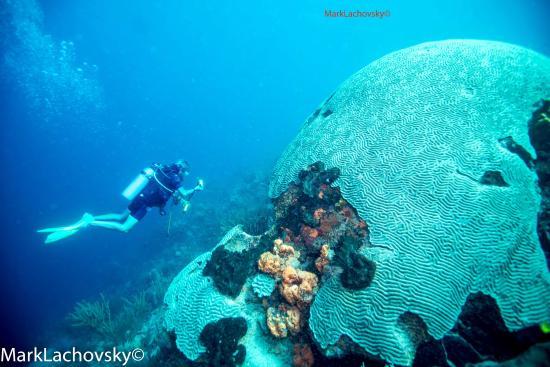 Tobago Dive Experience: Brain Coral