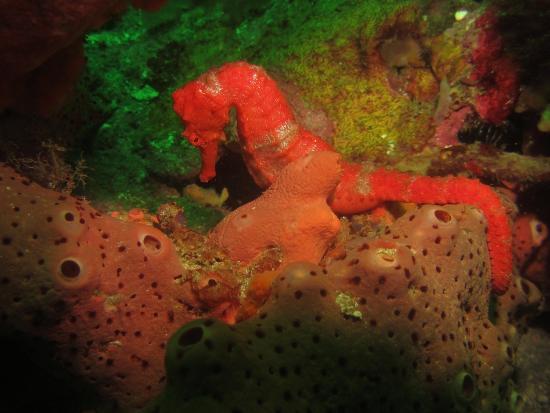 Tobago Dive Experience: Seahorses