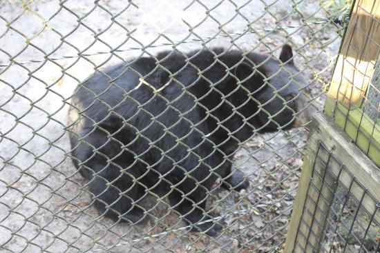 Homosassa Springs, FL: bear