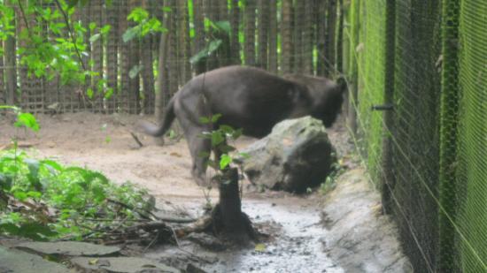 The Belize Zoo: Lucky Boy, the melanistic jaguar