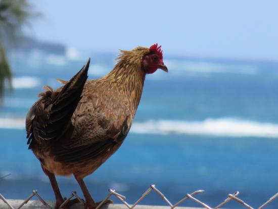 Spouting Horn: Rooster enjoying the view