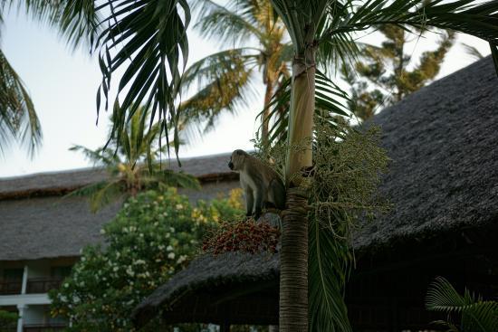 Southern Palms Beach Resort: Małpki są super ale czasem potrafią zaatakować