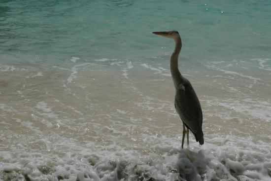 Vilamendhoo Island Resort & Spa: Quite often seen at the infinity pool