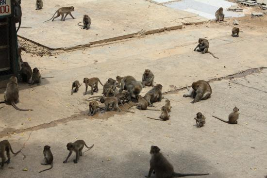 Chopsticks Hill (Khao Takiab): Affenherde