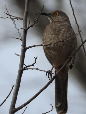 Hereford, AZ: Curve Billed Thrasher