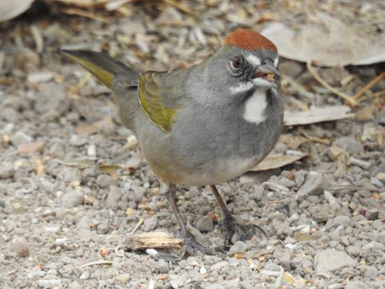 Hereford, AZ: Green Tailed Towhee