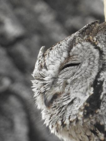 Hereford, Arizona: Western Screech Owl