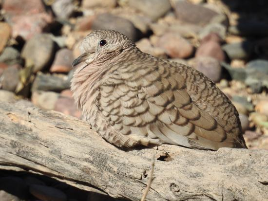 Hereford, AZ: Inca Dove