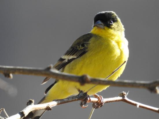 Hereford, AZ: Lesser Goldfinch