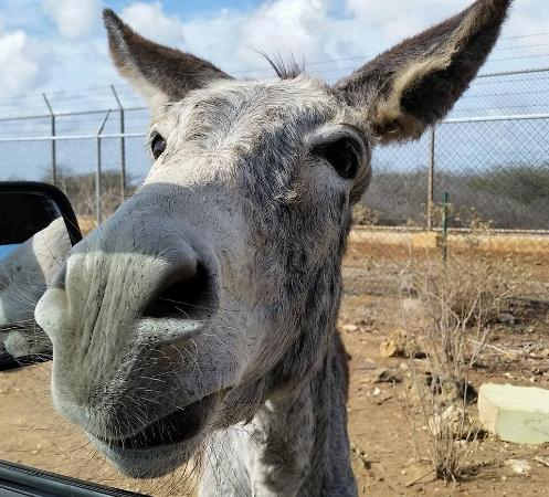 In your face! @Donkey Sanctuary, Bonaire - Picture of Donkey