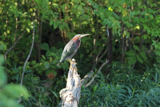 Jacobson Park : Green Heron