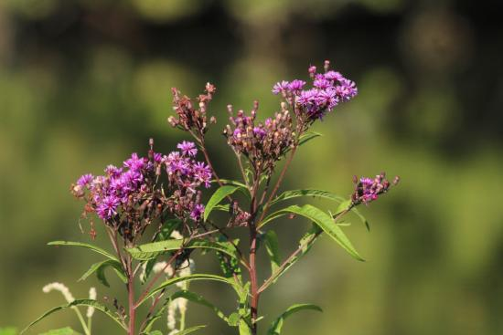 Jacobson Park : Ironweed