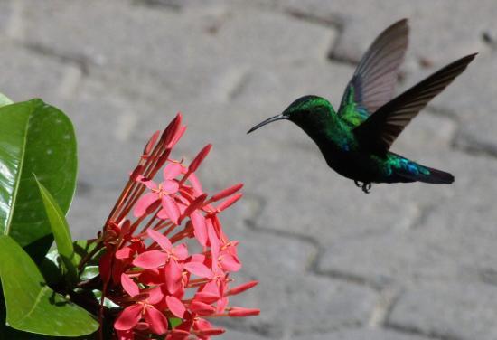 Pineapple Beach Club Antigua: Hummingbirds in the gardens.