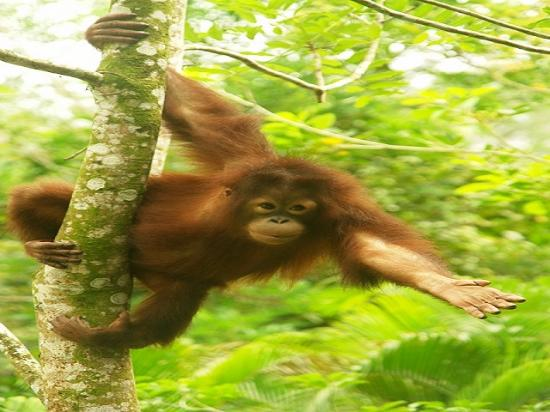 Sabah, Malaysia: Orang Utan at the Sepilok Orang Utan Conservation Center