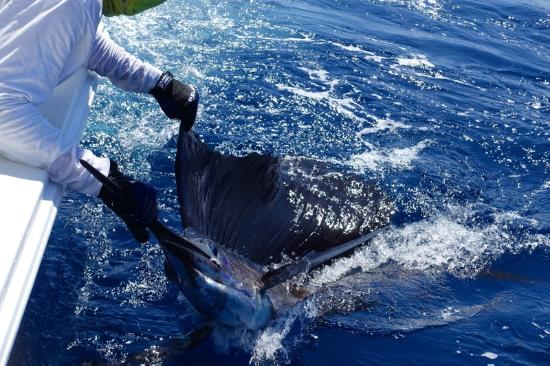 Crocodile Bay Resort: Sailfish nr 3