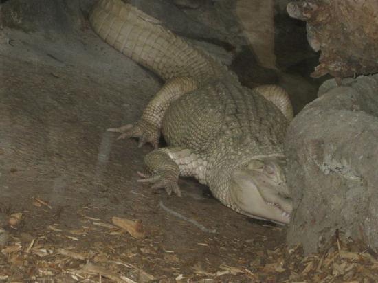Pierrelatte, Francia: Albino croc