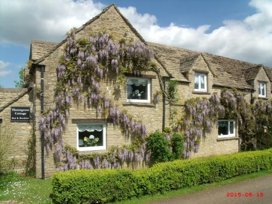Chippenham, UK: thorngrove wysteria