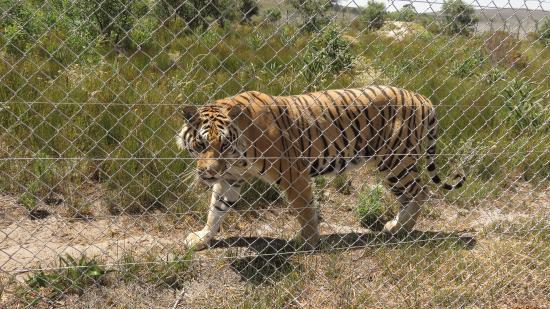 Stanford, Sør-Afrika: Tiger