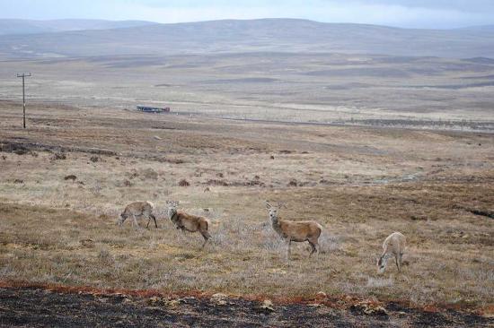 Helmsdale, UK: Red Deer Grazing Kinbrace
