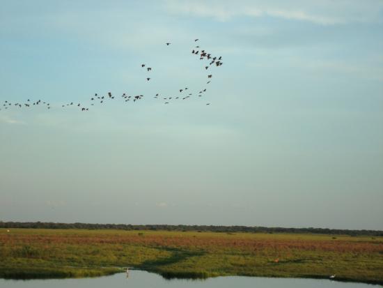 Mob of birds in Los Llanos (Venezuela): fotografía de San Juan de ...