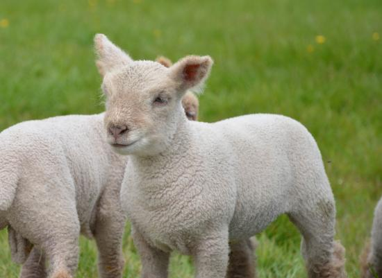 Hawkley, UK: Lambing is the busiest but best time of year