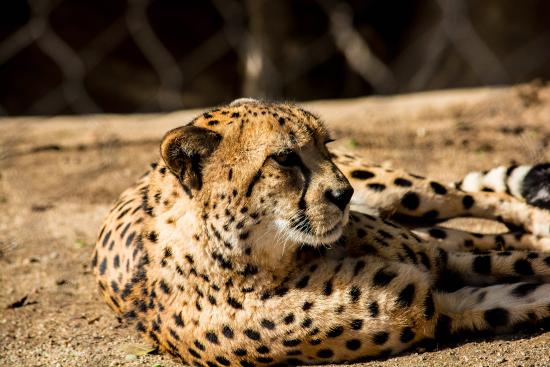 San Diego Zoo Safari Park: Relaxing Cheetah-Watch cheetah run at 3:30