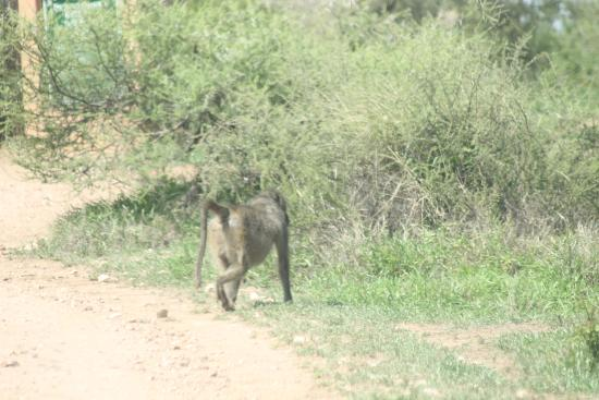 Limpopo Province, Νότια Αφρική: Baboon