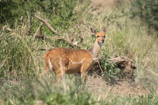 Limpopo Province, Νότια Αφρική: Bushbock