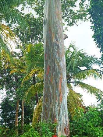 eucalyptus arc en ciel, crique morthium, matoury