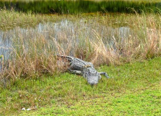 Shelburne, Вермонт: An Alligator in the Everglades