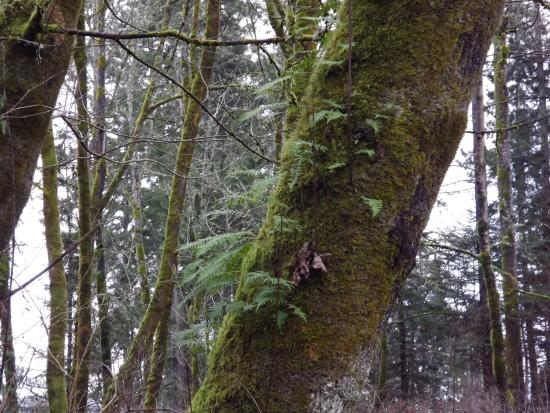 Courtenay, Kanada: Licorice Fern on the Moss side of Park trees