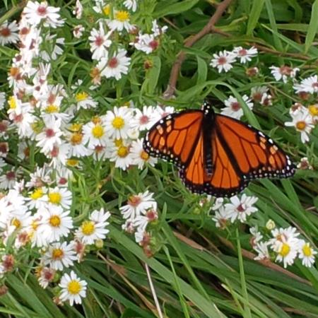 On Pelee Time: monarch butterfly