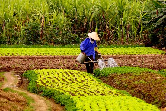 Hanoi, Vietnam: We stopped at a lettuce field as many people were busy working there.