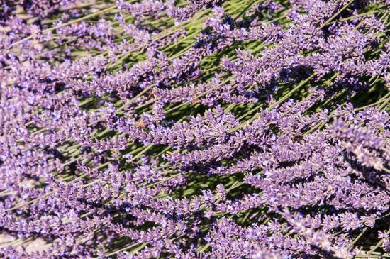 Sequim, Вашингтон: Close-up of Lavender