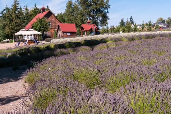 Sequim, Вашингтон: Purple Haze Lavender Farm