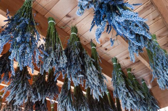 Sequim, WA: Lavender Drying