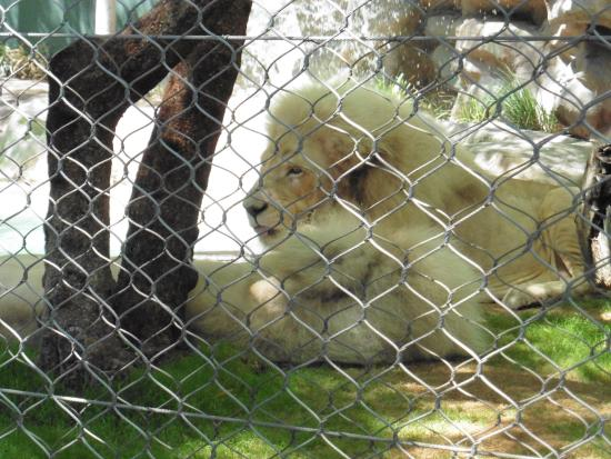 White Lions Picture Of Siegfried Roy 39 S Secret Garden And Dolphin Habitat Las Vegas