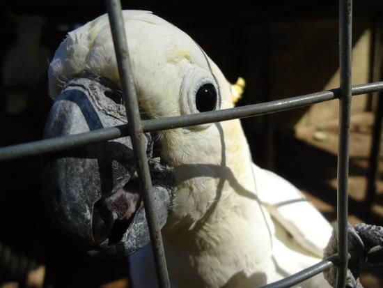 Eastern Cape, แอฟริกาใต้: Adorable and friendly Cockatoo