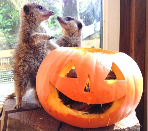 Manaton, UK: Halloween fun with the meerkats.